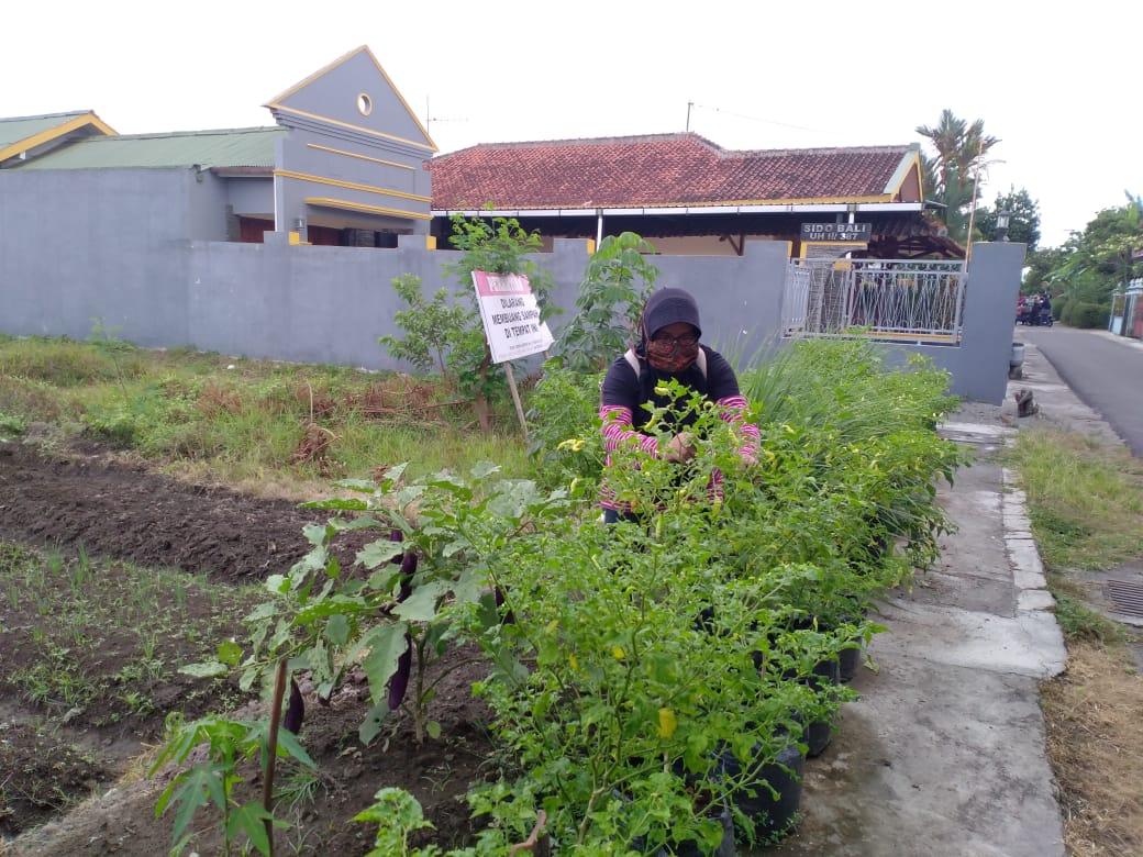 Pemanfaatan lahan untuk budidaya sayur di Balirejo